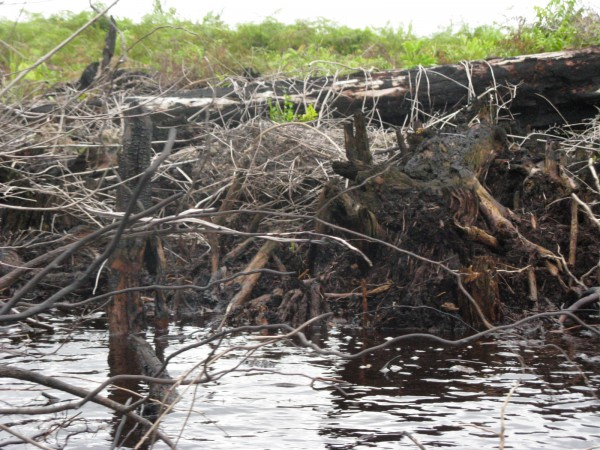 Damaged peats in Katingan, Central Kalimantan, during my trip in 2010. These areas were used to be a part of One Million Peats for Rice Fields. (photo : Fidelis Green Blog)