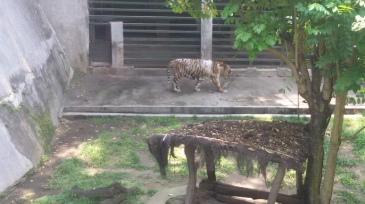 Tiger in Gembira Loka Zoo of Yogya